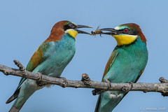 Merops apiaster (Mating rituals). (Ciminus) Tags: naturesubjects aves ornitology nature ciminus birds ciminodelbufalo matingrituals gruccione wildlife gruccioni europeanbeeeaters oiseaux afsnikkor500mmf4gedvrii meropsapiaster uccelli ornitologia nikond500 alittlebeauty coth coth5