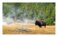 All Steamed Up (Bob C Images) Tags: geysers nature buffalo bison steam field woods trees yellowstone nationalpark animals