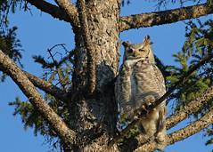 Great Horned Owl...#6 (Guy Lichter Photography - 4.4M views Thank you) Tags: canon 5d3 canada manitoba winnipeg wildlife animals birds bird owl owls greathornedowl