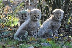 Tree Cheetah cubs - Allwetterzoo Munster (Mandenno photography) Tags: animal animals dierenpark dierentuin dieren ngc nature duitsland allwetterzoomunster munster cat cats cheetah jachtluipaard
