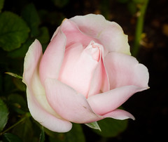Pink Rose (tresed47) Tags: 2018 201811nov 20181101longwoodflowers canon7d chestercounty content fall flowers folder longwoodgardens november pennsylvania peterscamera petersphotos places rose season takenby us