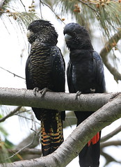Red-tailed Black Cockatoo pair, Cape Palleranda, Townsville, NQld (David W Hartney) Tags: red tailed black cockatoo townsville north queensland australia birds parrots