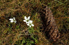 Wiregrass Gentian vs Longleaf Pine Cone (jupitersnest) Tags: floridanativeplant floridanativewildflower floridanativewildflowers floridanativeplants florida wildflower wildflowers gentian endangered endemic wiregrass longleaf savanna apalachicolanationalforest anf outdoors plants nativeplant nativewildflower winter bloom flower plant forest