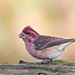 Purple Finch male.