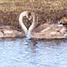 Gooseberry Duck (ArtFrames) Tags: summerleysreserve swan ballet romantic heart symbol bird pairing cuddle
