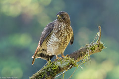 CA3I1161-Broad-winged Hawk (tfells) Tags: broadwingedhawk raptor anchicaya colombia nature bird wildlife southamerica buteoplatypterus