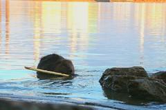 Beaver (Denes Szucs) Tags: beaver river danube budapest budafok canon eos 760d animal color dinner