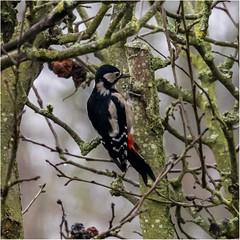 Lesser spotted woodpecker in Garden_001 (Anthony Britton) Tags: canon5dmk4 sigma100400 backgarden wiidbirds thamesfield lesserspottedwoodpecker redringparakeet starling
