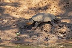 MARSTERR 0084 (bryanjsmith62) Tags: marshterrapin africanhelmetedturtle pelomedusasubruta turtles pelomedusidae reptilesofsouthafrica ©bryanjsmith pelomedusagaleata pelomedusasubrufagaleata southafricanhelmetedterrapin