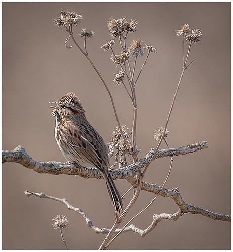 Fall Song Sparrow by Don Cochrane - Class B Digital Award - Jan 2019