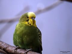 Wellensittich (ingrid eulenfan) Tags: zoo leipzig vogel bird wellensittich