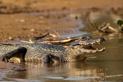 Caiman (aivar.mikko) Tags: caiman southamerica brazil pantanal teeth matogrosso transpantaneira wetlands portojofre cuiaba river reptiles amphibians yacare spectacled crocodilus latirostis sunset southamerican south america porto jofre mato grosso wildlife brazilian open mouth coth coth5 ngc