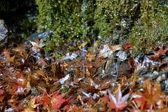 fallen leaves (ababhastopographer) Tags: 苔 moss ray 反射 沢 落葉 清滝 京都 maple leaves wet foliage trail kyoto kiyotaki autumn momiji reflection riverside 東海自然歩道 川辺