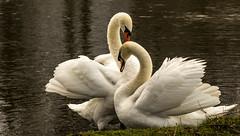 Bushy Park Jan 2019_012 (Anthony Britton) Tags: canon5dmk4 canonesom5 18150mlens 1122mlens 24105lens bushypark hampton swans heron ringparakeet sheppertonlock wier thamesriver river parks