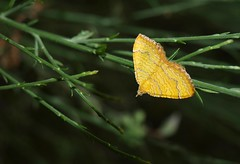 Camptogramma bilineata (J Carrasco (mundele)) Tags: calzadilla extremadura insectos mariposas heterocera geometridae larentiinae xanthorhoini camptogramma
