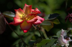 A Rose Is A Rose (Scott 97006) Tags: flower plant pretty colors bokeh beauty nature lovely petals