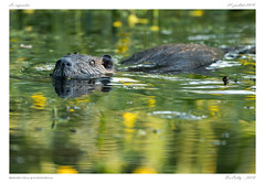 Ragondin (BerColly) Tags: france auvergne puydedome mammifere mammal ragondin nutria marais etang marsh pond reflets reflections eau water portrait bercolly google flickr