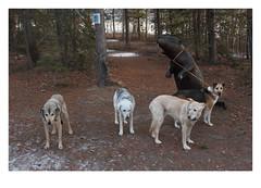 Celebrations Ensue (Robert Drozda) Tags: whitehorse yukonterritory canada yukonberingiainterpretivecentre wesley musky sandy brie giantbeaver winter woodland beingthere fbxtopdx2018 drozda