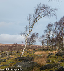 Bent by the wind!!!_In Explore (Mick PK) Tags: birch canon derbyshire eastmidlands england gardoms gardomsedge nationalpark peakdistrict places silverbirch tree uk