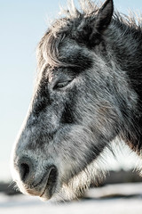 Silver Pony (NikNak Allen) Tags: plymouth yelverton dartmoor devon england portrait face ears eye nose mouth hair snow now winter morning sunrise close macro features