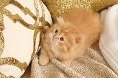 Cute Kitten Pictures (dollfacepersiankittens.com) Tags: munchkin kittens for sale