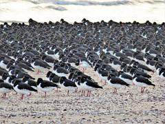 Line up (Tobymeg) Tags: birds line up beach sand sea scotland southerness panasonic dmcfz72 oystercatchers flock