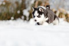 Stella (John Sieber) Tags: siberianhusky siberian husky dogportrait