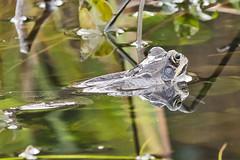 _W4A8682 Frog (Rana temporaria) (ajmatthehiddenhouse) Tags: kent stmargaretsatcliffe garden uk 2018 frog amphibians rana temporaria ranatemporaria commonfrog amphibian