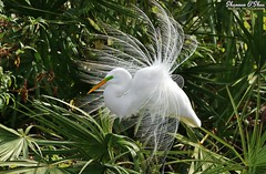 The center of attraction (Shannon Rose O'Shea) Tags: shannonroseoshea shannonosheawildlifephotography shannonoshea shannon greategret egret bird beak yelloweye white feathers wings leaves trees breedingplumage plumage lores colorful colourful outdoors outdoor outside nature wildlife waterfowl alligatorbreedingmarshandwadingbirdrookery gatorland orlando florida ardeaalba flickr wwwflickrcomphotosshannonroseoshea smugmug art photo photography photograph plumes wild wildlifephotography wildlifephotographer wildlifephotograph femalephotographer girlphotographer womanphotographer shootlikeagirl shootwithacamera throughherlens camera canon canoneos80d canon80d canon100400mm14556lisiiusm eos80d eos 80d fauna flora rookery gatorlandbirdrookery