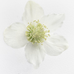 Lenten Rose (Jack Heald) Tags: lenten rose white whiteonwhite macromondays macro flower heald jack nikon d750 nikkor 60mm micro helleborus orientalis perennial plant