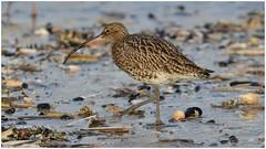 Adult {Eurasian} Curlew. (Jeremy Eyeons) Tags: titchwell rspb adult curlew wader norfolk bird beach seashells numeniusarquata