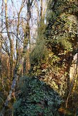 Lichens on birch, Glasdrum National Nature Reserve (Niall Corbet) Tags: scotland argyll glasdrum nationalnaturereserve nnr lichen birch betula woodland