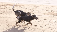 racing (RCB4J) Tags: ayrshire ayrshirecoast babygrace clydecoast firthofclyde irvinebeach jakob rcb4j ronniebarron scotland siameselurcher sony18250mmf3563dtaf sonyilca77m2 trailhound art dobermanterrier dogs photography on1 panning running game l