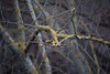 winter trees (Francis Mansell) Tags: tree plant branch twig lichen riverleecountrypark leavalley