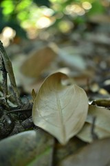 Hojas secas (wichogarcia) Tags: leaves tree naturaleza nature