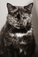 Ella's Fu Manchu (Katrina Wright) Tags: dsc3237 ela cat face whiskers eyes fumanchu whitewhiskers pet