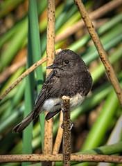 Black Phoebe (randyherring) Tags: ca california centralcaliforniavalley cosumnesriverpreserve elkgrove afternoon aquaticbird nature outdoor recreational waterfowl wetlands