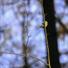 Mésange bleue (chando*) Tags: forêtdesoignes belgique belgium oiseau bird mésangebleue bluetit carré square