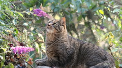 summer prey -- EXPLORED (Judecat (settling in for winter)) Tags: butterflybush paintedladybutterfly feline browntabby ozzie