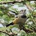 Banded Parisoma ( Warbler ) - Nairobi NP - Kenya CD5A9730