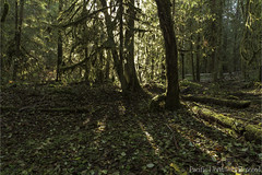 Through the Canopy 2933 (All h2o) Tags: olympic national forest pacific northwest nature peninsula mountains light sunlight sunbeams rays tree trees leaves autumn season fall moss morning wood