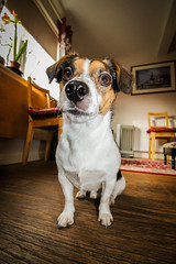 Jack Russell (Stacy Notman Photography) Tags: jack russell dog dogs pet pets canon 600d wide angle photography scotland edinburgh friend friends cute adorable animal animals fluffy