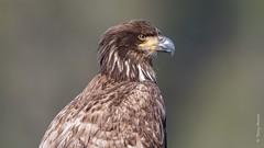 Bald eagle (Haliaeetus leucocephalus) (Tony Varela Photography) Tags: eagle baldeagle immaturebaldeagle haliaeetusleucocephalus baea canon photographertonyvarela inexplore explore