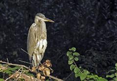 Great Blue Heron - Grand Héron - Ardea herodias (P9_DSCN9634-1PE-20180816) (Michel Sansfacon) Tags: grandhéron greatblueheron ardeaherodias nikoncoolpixp900 parcnationaldesîlesdeboucherville parcsquébec faune