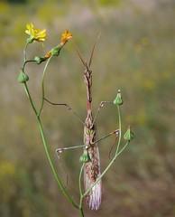 La bella y la....flor. Empusa pennata (J Carrasco (mundele)) Tags: calzadilla extremadura insectos dictyoptera mantodea empusidae empusa