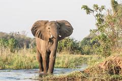 Ears a-flappin' (Tris Enticknap) Tags: africanelephant zambia elephant lowerzambezi africa loxodontaafricana