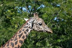 Masai Giraffe (Accipiter22) Tags: giraffacamelopardilistippelskirchi masaigiraffe rhodeisland rogerwilliamspark rogerwilliamsparkzoo wildlife wildlifephotography zoo adorable animals bestnatureshots naturalbeauty natureshots naturegram providence