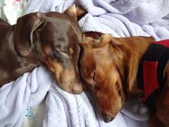 sleeping (carolyuki) Tags: light dog dachshund 犬 ダックス 愛犬