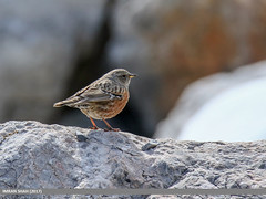 Alpine Accentor (Prunella collaris) (gilgit2) Tags: alpineaccentorprunellacollaris avifauna birds brumther canon canoneos7dmarkii category fauna feathers geotagged gilgitbaltistan gojal imranshah location pakistan species tags tamron tamronsp150600mmf563divcusd wildlife wings gilgit2 prunellacollaris