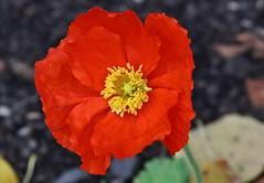 November Flower (Hugo von Schreck) Tags: hugovonschreck flower blume blüte macro makro tamron28300mmf3563divcpzda010 canoneos5dsr